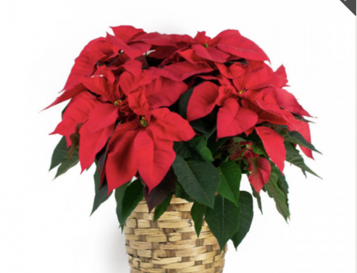 Bring Others Joy on Poinsettia Day